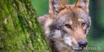 Erst Neuwied, jetzt Eitorf: Wolf gründet gleich zwei Familien - EXPRESS