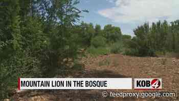 'Curious' mountain lion reported in the Bosque