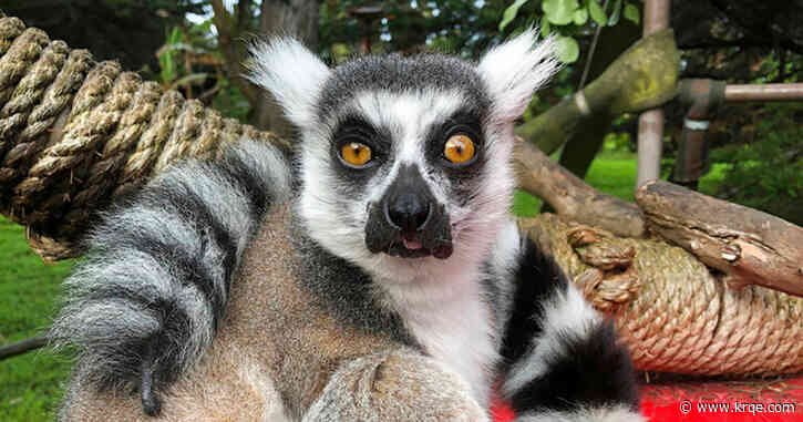 Lemur stolen from the San Francisco Zoo found safe