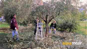 Torrespaccata, raccolta solidale di olive