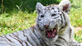 Tiger beißt Mann in Ottendorf-Okrilla - Radio Dresden