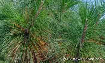 How pine needles can give us a lesson in waterproofing