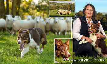 Sheepdog sells for world record-breaking £20,000