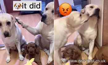 TikTok video showing two adorable Labradors goes viral