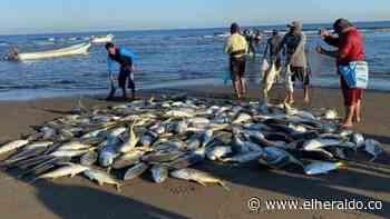 Hay júbilo en Moñitos por la pesca de 4 toneladas de jurel - EL HERALDO