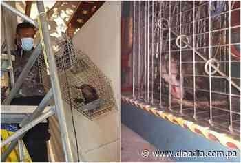 Rescatan zarigüeya dentro de un templo en Parita - Día a día
