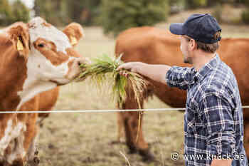 Studie: 'Koeien ontspannen zich als mensen zachtjes tegen ze praten'