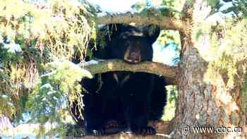 Wildlife rehab concerned over Alberta Parks plan to release abandoned bear
