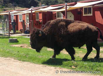 More bison to join island herd - The Catalina Inslader