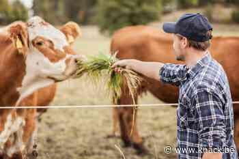 Studie: 'Koeien ontspannen zich als mensen zachtjes tegen ze praten' - Knack.be
