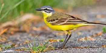 Die Vogelwelt im Landkreis Marburg-Biedenkopf - Oberhessische Presse