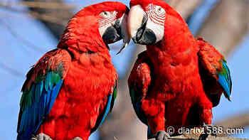 Luego de 150 años el guacamayo rojo vuelve a nacer en el Iberá - 1588