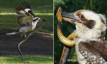 Kookaburra takes on tiger snake in Yanchep National Park in Perth
