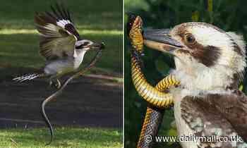 Kookaburra takes on tiger snake in Yanchep National Park in Perth