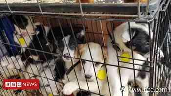 Coronavirus: MPs debate pet theft law change amid lockdown rise - BBC News