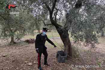 Sannicandro di Bari, sorpresi a rubare olive in un terreno privato. Due denunce - BariViva