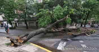La tormenta tumbó un árbol enorme en Buenos Aires y Pasco - Rosario3.com