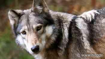 Barnstorf: Autofahrer erfasst Wolf - NDR.de