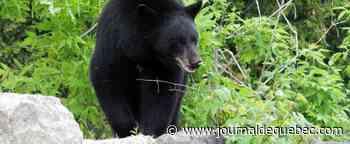 Alberta: un ours force la fermeture d'un parc à Calgary