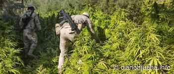 Ejercito destruye plantío de mariguana en Valle de la Trinidad - Diario Tijuana