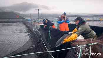 New study suggests fish farms raise risk of exposure to infectious disease for wild B.C. salmon