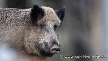 Bode: Tote Wildschweine frei von Afrikanischer Schweinepest - Süddeutsche Zeitung