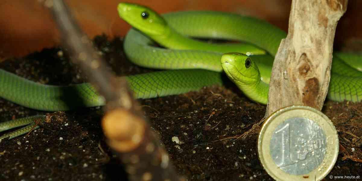 Hochgiftige Schlangen sind ungeplant in Wien geschlüpft - Heute.at