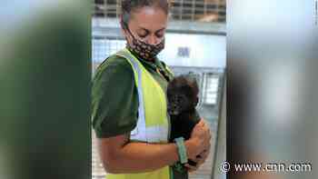Baby gorilla hand-reared by zookeepers after mother struggles to look after him