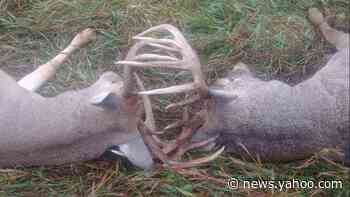 'Nature can sure throw some curveballs.' Two deer die with antlers locked in Kansas