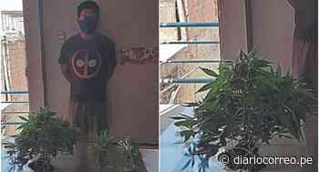 Lambayeque: Policía detiene a joven con plantaciones de marihuana en Túcume - Diario Correo
