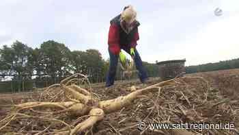 Power-Wurzel mit besonderer Wirkung: Ginseng-Ernte in Bockhorn bei Walsrode - Sat.1 Regional