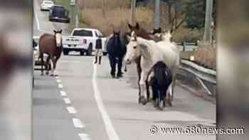 Watch: Runaway horses snarl traffic on highway in Whitchurch-Stouffville - 680 News