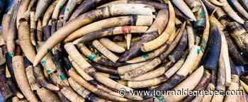 118 défenses d'éléphant saisies au Cameroun