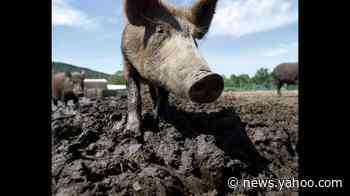 Wild hogs running amok in California city. Can bow hunters help get rid of them?