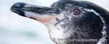 Galapagos: augmentation record de la population de pingouins et cormorans endémiques