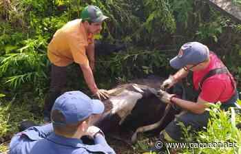 Curitibanos: Bombeiros retiram vaca que caiu em uma vala - Caçador Online