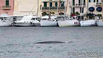 La danza di due balene incanta Portoferraio - Video - Il Tirreno