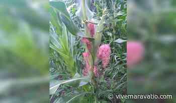 Logra Agricultura Sustentable 5 elotes en plantas de maíz en Jiquilpan - Vive Maravatio
