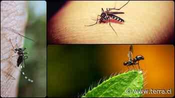 Remedios caseros para las picaduras de mosquitos que realmente funcionan - Terra Chile
