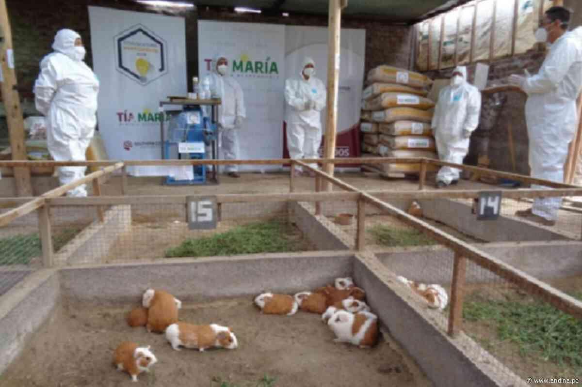Arequipa: apoyan mejoramiento genético de cuyes en Cocachacra - Agencia Andina