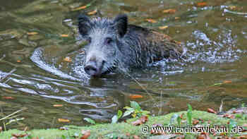 """Wildschwein """"plantscht"""" in Gartenteich in Meerane - Radio Zwickau"""