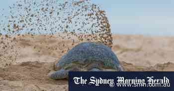 Rooting out feral pigs to protect marine turtles