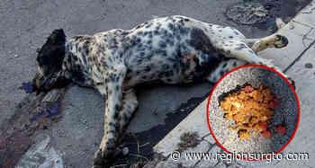 Desconocidos esparcen comida de perro envenenada en el centro de Yuriria. - Región Sur Gto