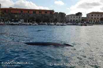 Due balenottere nella darsena di Portoferraio - Toscana Media News
