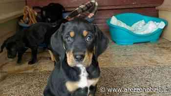 Cagnolini cercano casa: cinque cuccioli abbandonati a Palazzo del Pero. Ecco come fare per adottarli - Arezzo Notizie