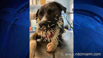 Dog Has Painful Encounter With Porcupine - NBC 6 South Florida
