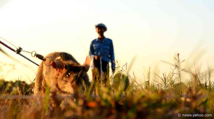 Rats help clear minefields in Cambodia – and suspicion of the military