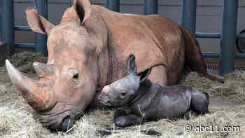 150-pound white rhinoceros born at Disney World's Animal Kingdom