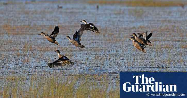 Thousands of waterbirds flock to Australia's Lake Cowal – in pictures