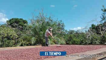 El milagro de Cumaribo: el pueblo que le dijo adiós a cultivos de coca - El Tiempo